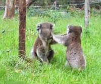 Koa Kavgası, Koaların Kavgası Video İzle