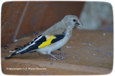 молодой щегол, щелкает семечки, птица с желтой полосой на крыльях
