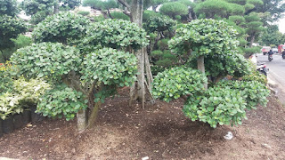 Jual Pohon Bonsai Beringin Korea Berbagai Macam Ukuran | Jasa Tukang Taman | Jual Tanaman Dan Pohon Online
