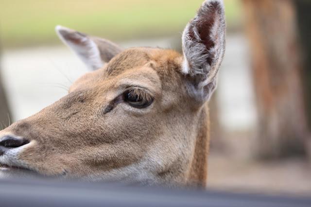 Besuch am Autofenster im Serengeti Park