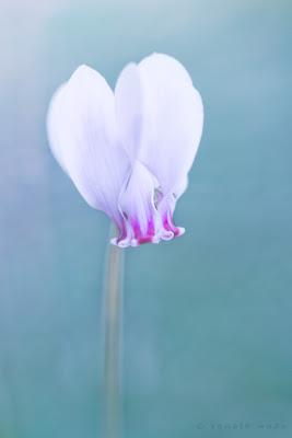 Schwierige Standorte unter Gehölzen meister Cyclamen hederifolium - auch im trockenen Wurzelbereich gedeihen sie und blühen mit fast weißen, zarten Blüten