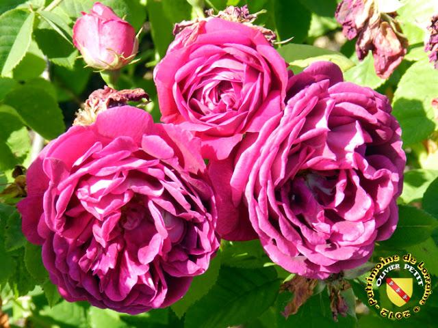 VILLERS-LES-NANCY (54) - La roseraie du Jardin botanique du Montet - Roses Roi des Pourpres