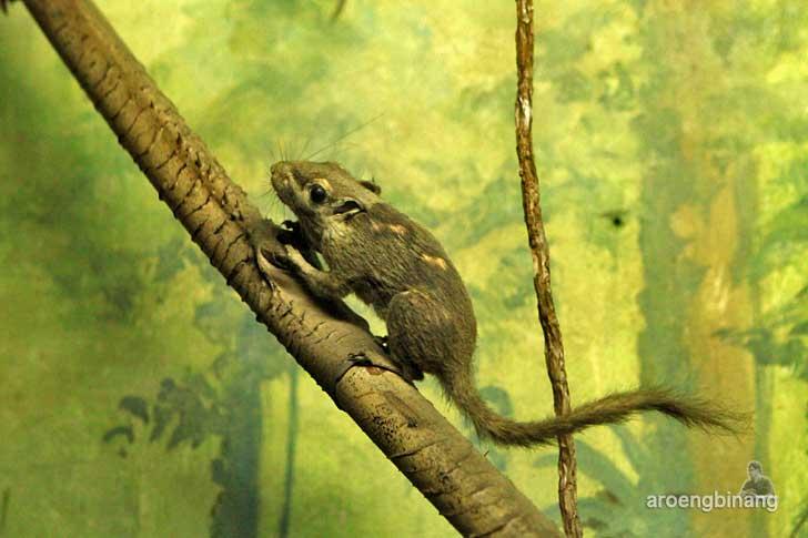 bajing kerdil museum zoologi bogor