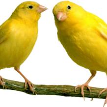 Cara Membedakan Jenis Kelamin Burung Kenari Dari Bentuk Fisik Dan Prilaku