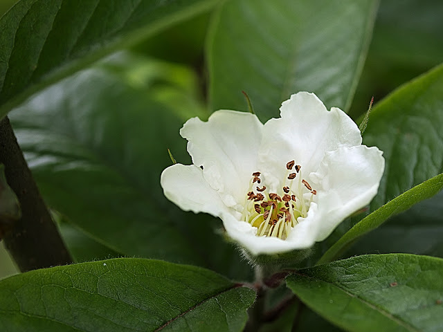 Close up of a single medlar flower surrounded by leaves