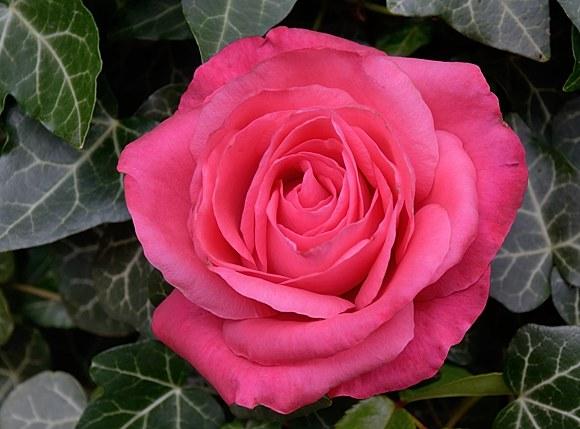 Cherry Lady сорт розы Кордес фото купить саженцы Минск