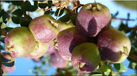 gambar buah emu apple