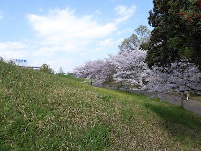 寝屋川公園 ふれあいの丘周辺の桜