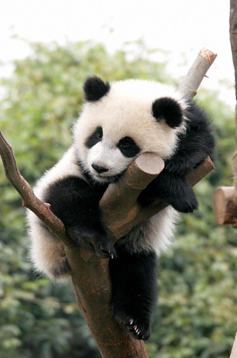 Cute baby panda Wallpaper - HD Mobile Walls