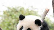 Cute baby panda Wallpaper