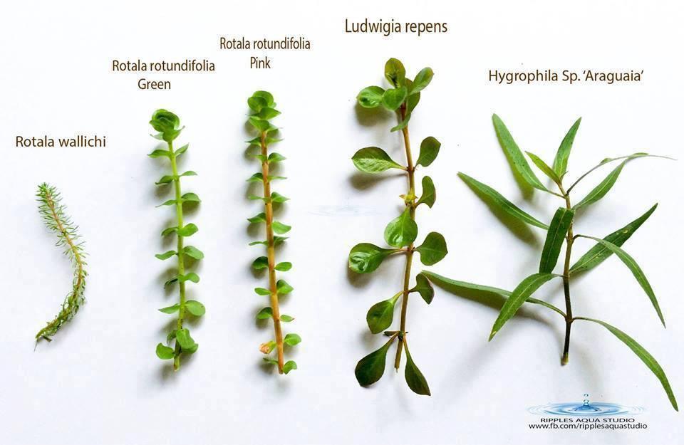 hygrophila sp araguaia ludwigia repens rotala rotundifolia pink rotala rotundifolia green rotala wallichi