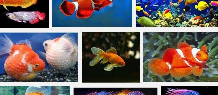 Jenis Ikan Hias Terpopuler Saat ini
