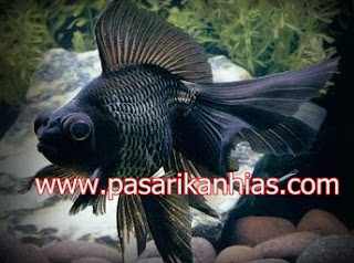 Ikan hias Mas Koki Black More