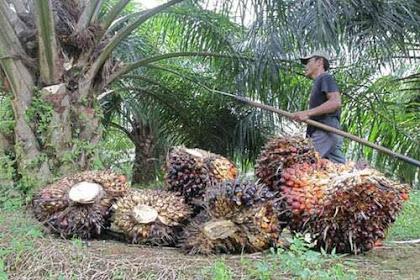 Lowongan Kerja Kepala Senior Kebun Sawit Siak Kecil November 2018