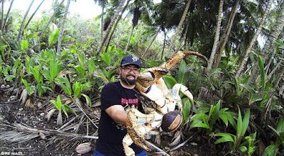 WOW, Kepiting Terbesar Sebarat 4 Kg yang Ada di Bumi