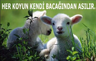 koyun, kuzu, doğa, yeşillik, mera
