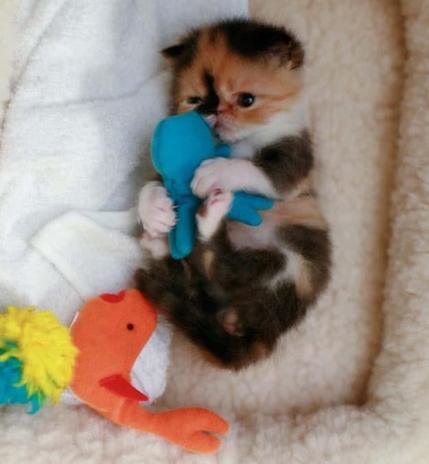 gatito moteado con peluche