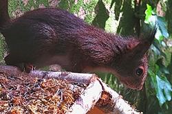 Eichhörnchen auf dem Vogelhäuschen...