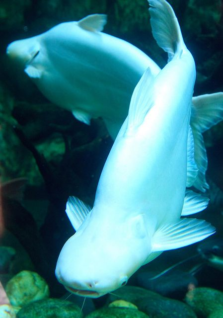 Hark Catfish   A-Z List of 125 Rare Albino Animals [Pics]