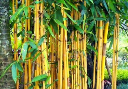 6 Khasiat Akar Bambu Kuning Untuk Kesehatan