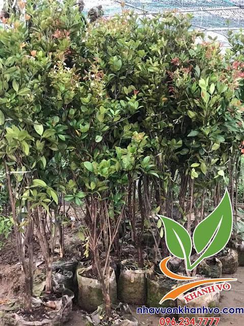 Cherry brazil đã trồng thành công ở Việt Nam 53343477_121466678949996_1218837557404499968_n