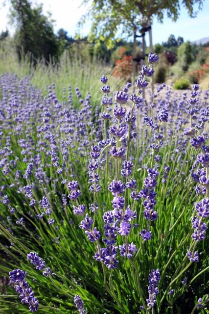 Wanaka Lavender Farm (New Zealand) ~ rolling writes