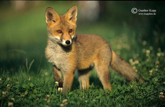 NABU-Fuchsjagd entpuppt sich als Falschmeldung der Jagdpresse