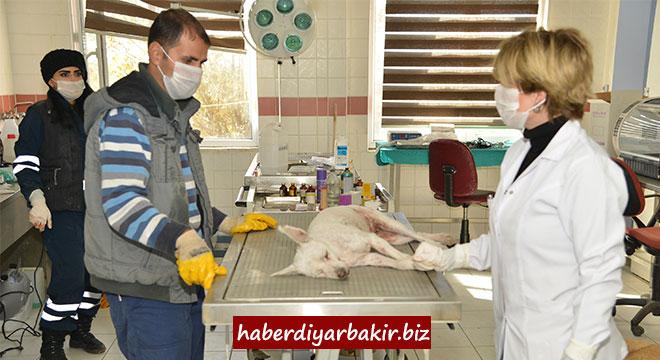 Diyarbakır'da 9 bin 915 sokak hayvanının bakım ve tedavileri yapıldı