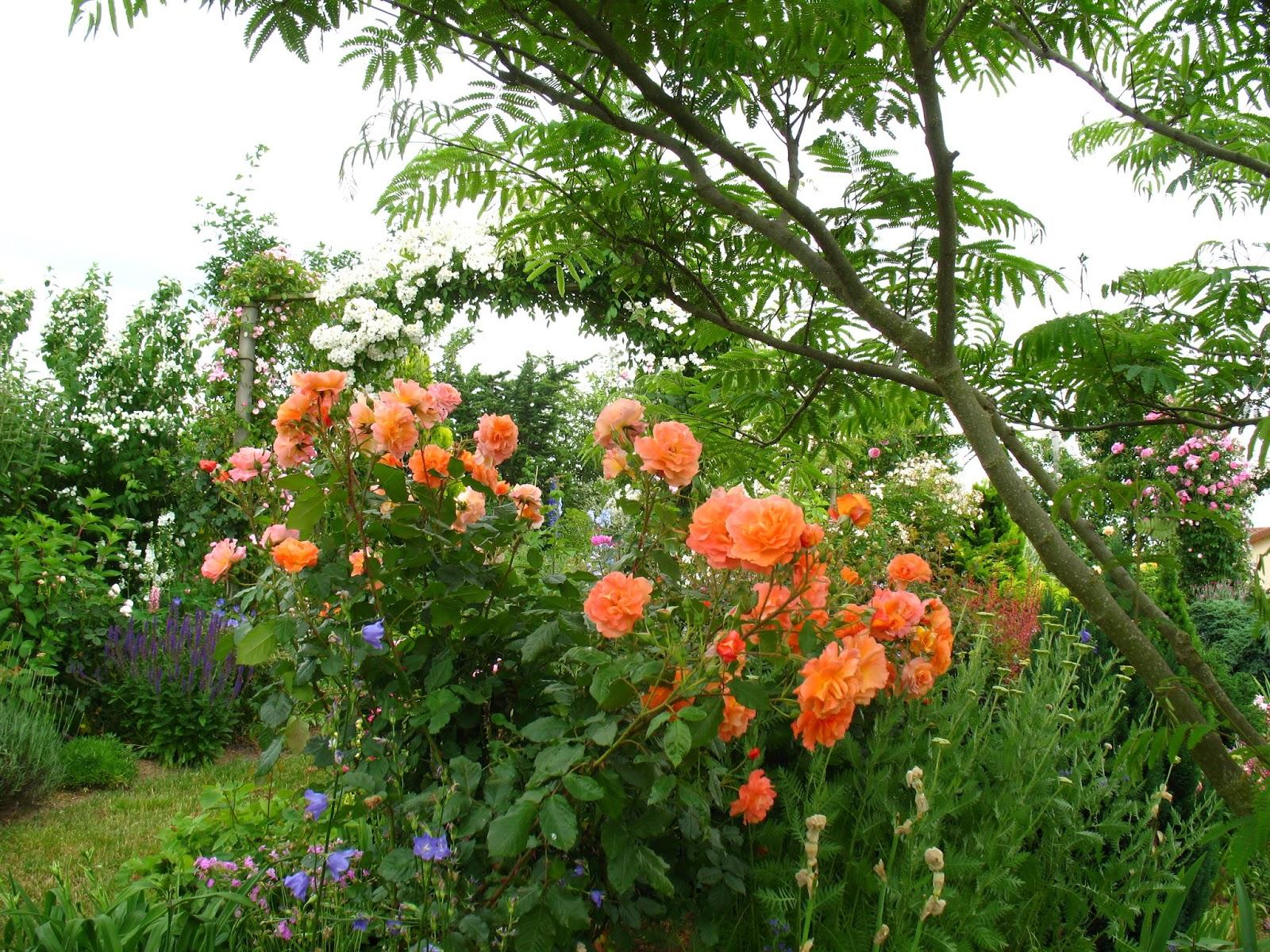 roses du jardin ch neland rosier westerland apr s les frimas de l 39 hiver 2012. Black Bedroom Furniture Sets. Home Design Ideas