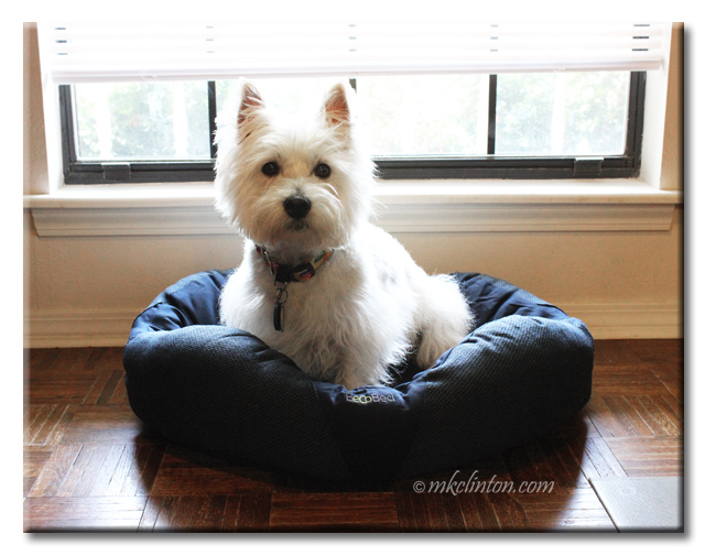 Westie sitting in a BeCo dog bed