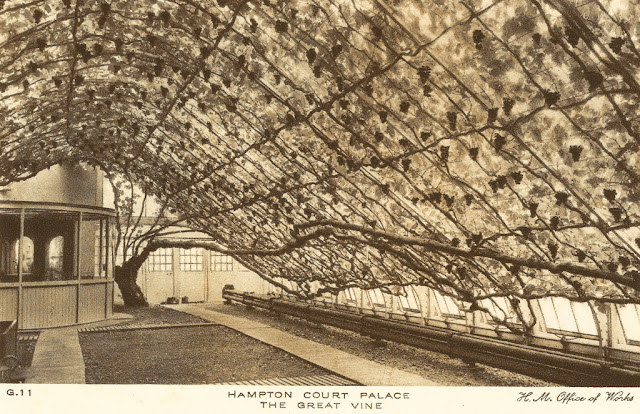 The Hampton court vine postcard