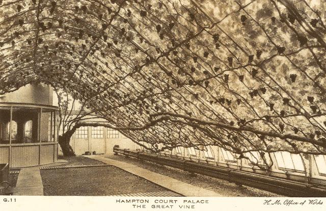 The Hampton court vine postcard