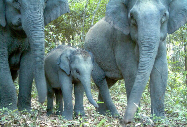 Juvenile and adult Asian elephants photographed by a camera trap in Phnom Prich Wildlife Sanctuary in 2009. WWF Cambodia