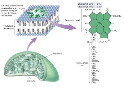 struktur klorofil a dan klotofil b, perbedaan klorofil a dan klorofil b