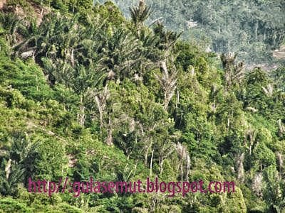 Arenga Palm Trees Pictures