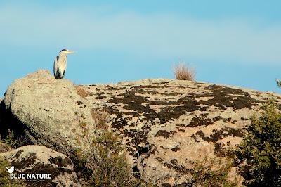 Garza real (Ardea conerea) sobre las rocas apreciando el paisaje