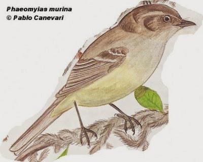 Piojito pardo, Phaeomyias murina