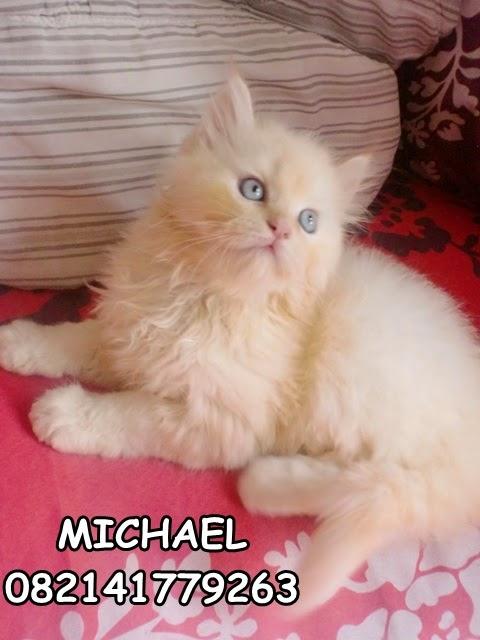 kucing persia medium lucu daerah surabaya sidoarjo