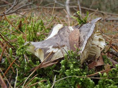 grzyby 2018, grzyby w listopadzie, grzyby na Ponidziu, grzyby mrożone, gąski, wodnichy, gąsówki, podgrzybki, wchodzenie na drzewa w lesie