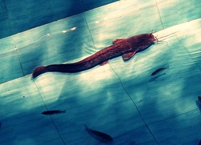 Inilah 7 Ciri-Ciri Ikan Lele dan Habitatnya