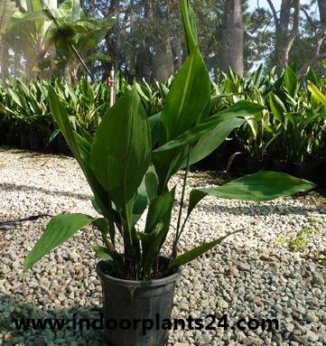 Aspidistra Eatior Liliaceae plant image