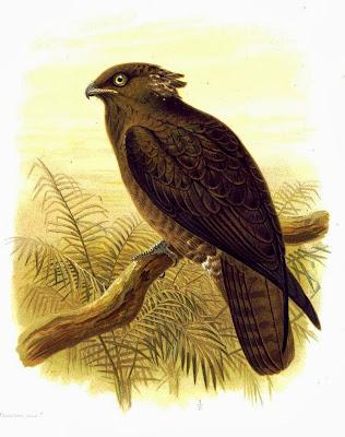 Halcón de los murciélagos Macheiramphus alcinus