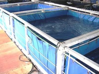Semua Bisa Cara Budidaya Ikan Sidat Air Tawar Yang Baik Dikolam