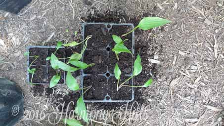 Planting small hosta sections in pots