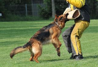 COMO ESCOLHER UM BOM ADESTRADOR   ADESTRAMENTO - QUEM AMA EDUCA! É muito importante que você busque referências sobre o profissional que irá contratar. Há pessoas não qualificadas que ensinam os animais com métodos violentos, o que será desastroso para o caráter do cão. O adestrador deve ter noções básicas sobre o estudo do comportamento dos cães. É importante que depois de algumas aulas, você comece a acompanhar o adestramento, ou seu cão apenas obedecerá o adestrador.