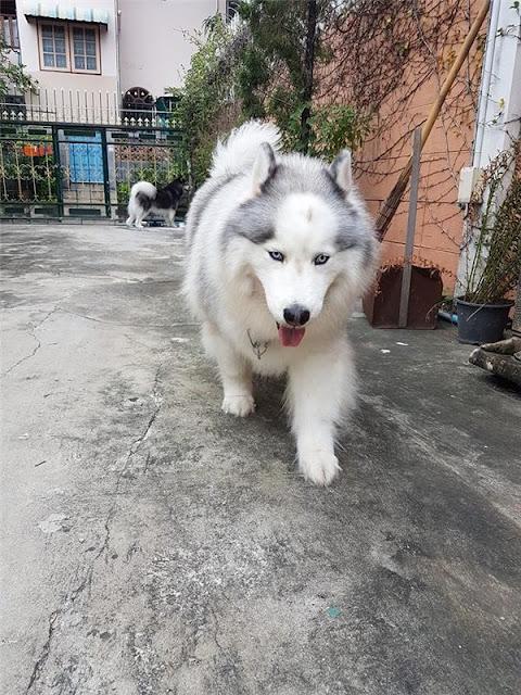 Chú chó Husky đáng yêu vừa hói lại còn chân ngắn