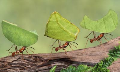 hormigas llevando hojas al nido