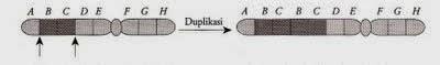 duplikasi kromosom