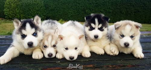 Camada de cachorros husky siberiano Rubio & Alaska del Sirokami