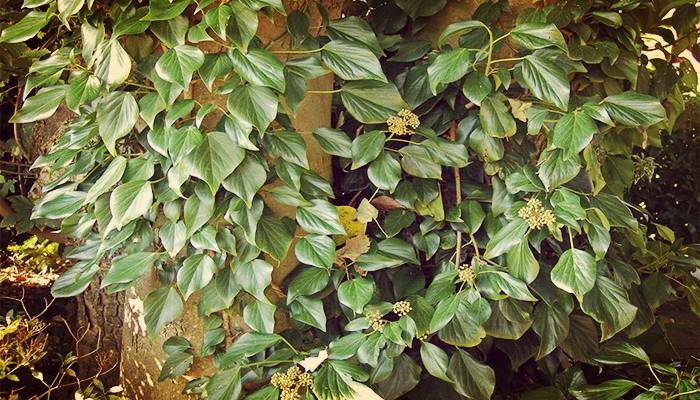 Planta de cerco facil cultivo